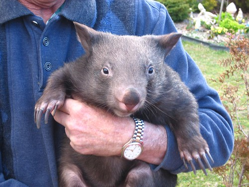 Juvenile Wombat (Female) | by Denis Fox