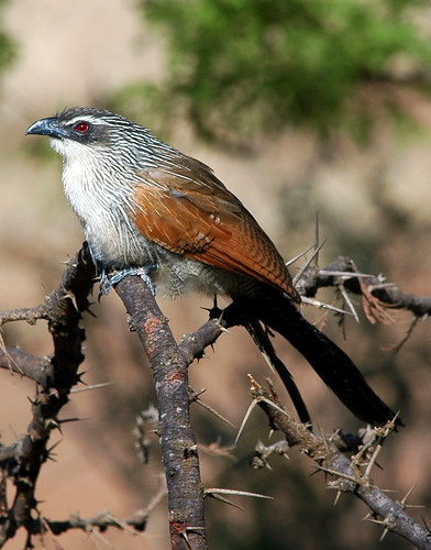 White-browed Coucal | by algaedoc