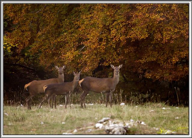 Brame du cerf Forêt d'Ambel 04