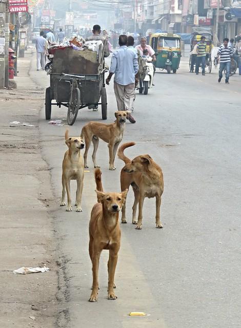 new delhi dogs