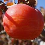 柿色 persimmon color