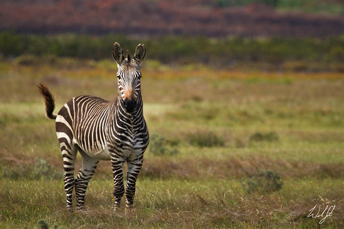 Cape Mountain Zebra- De Hoop Nature Reserve, South Africa | by wsweet321
