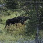 Cow and calf Moose along Glen Creek