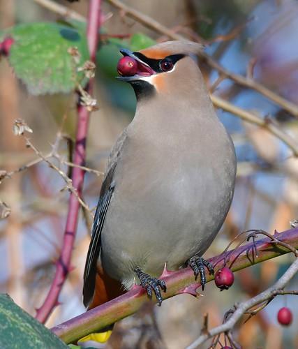 bohemianwaxwing feeding bird waxwing nature bombycillagarrulus alaksennationalwildlifearea deltabccanada