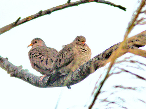 Common Ground-Doves 3-20170314