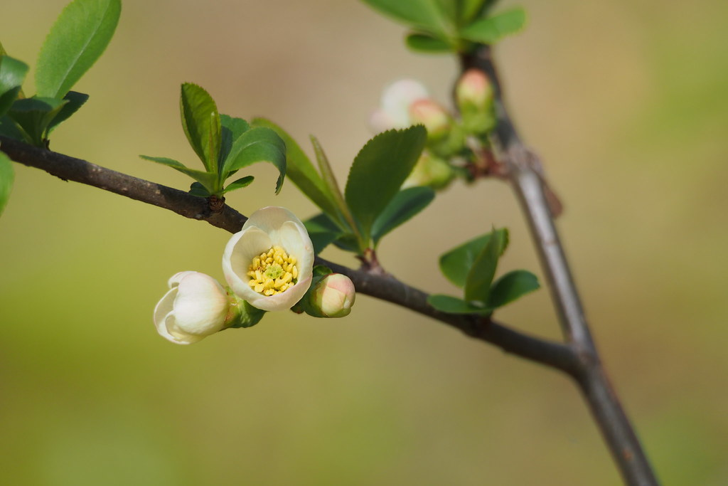 Chinese Quince (Chaenomeles speciosa)