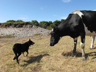 Herding Dog and Cattle II -  Red Moon Sanctuary, Redmond Western Australia | by Red Moon Sanctuary