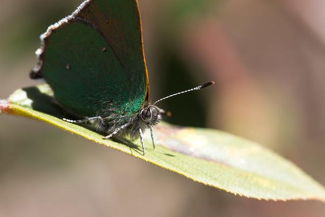 Blackburn's Bluet Butterfly