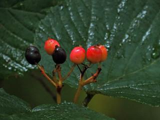 Hobblebush Fruits