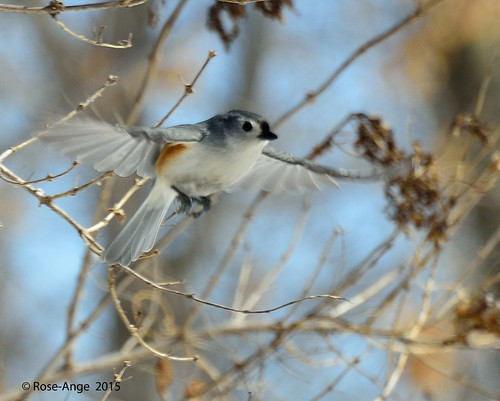 Mésange bicolore / Tufted Titmouse | by anjoudiscus