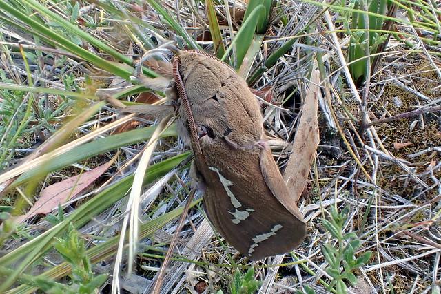 Pindi Moth - Abantiades latipennis - PMR