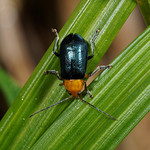 P4190816-鈍色琉璃螢金花蟲