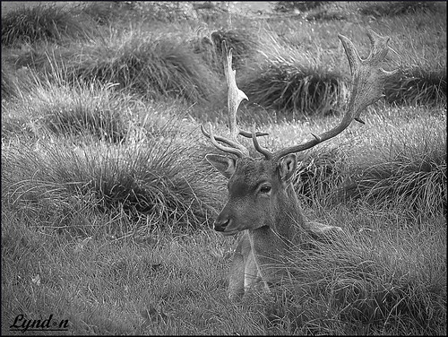 blackandwhite nature monochrome animal fuji gimp deer 2016 xs1 fujifilmxs1 52weeksthe2016edition week202016 weekstartingfridaymay132016