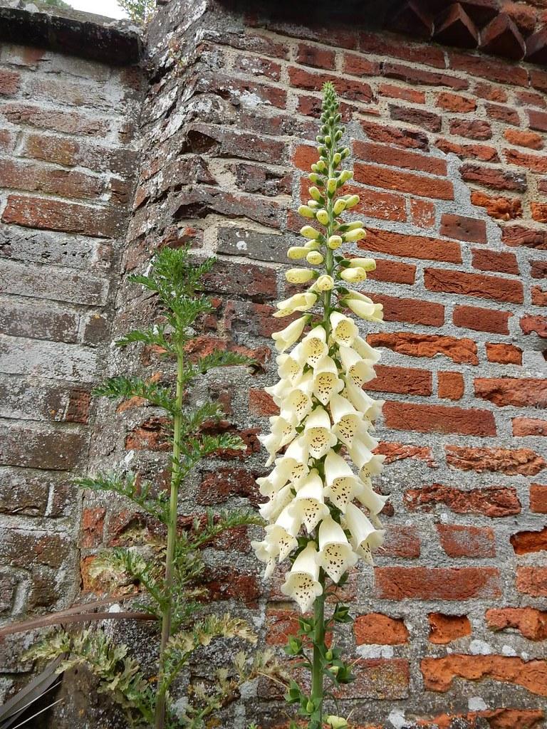 Foxglove, Bishop's Garden Southbourne to Chichester