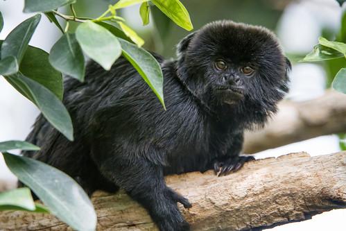 Goeldis marmoset on the branch | by Tambako the Jaguar