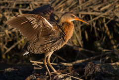 Light-footed Ridgeway (clapper) rail
