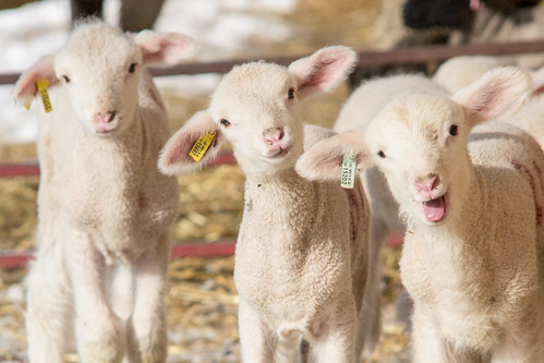 Spring? Up for that! #lambs #sheep | by NetAgra