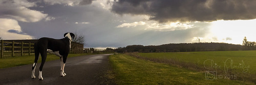 dog field weather walking panoramic greatdane fields 365 mylife day83 stormyclouds odc 2015 365project procamera iphone6 2015yip 3652015 lowpositionofview 833652015