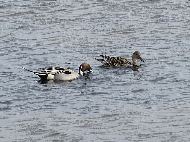 Pintail at Titchwell
