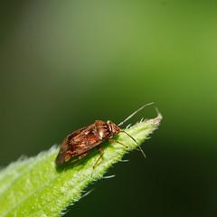 shield bug larvae