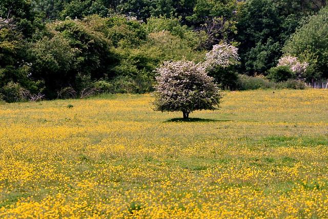 Tree in a buttercup meadow.