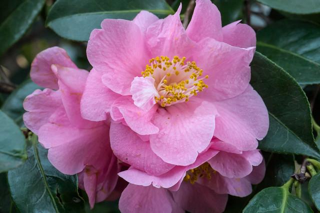 Rosenähnliche Kamelienblüte