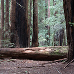 Fallen Redwood, Muir Woods