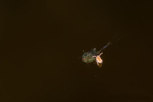 Sminthurides penicillifer and ? | by AndyLandgraf Makrofotografie