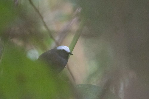 White-browed Antbird | by chlorophonia