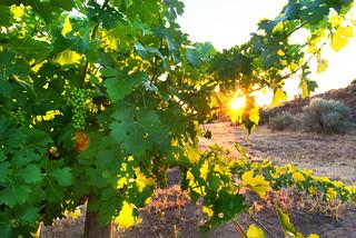 Grapevines at dawn | by samantha.levang