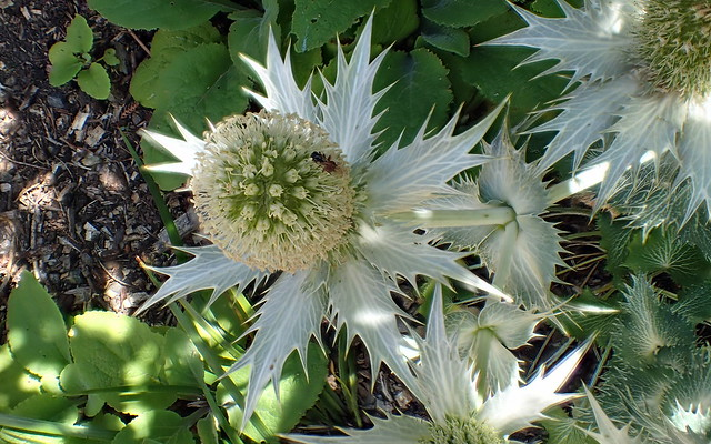 Red-bottomed Bee on Giant Sea Holly - Miss Willmott's Ghost - Eryngium giganteum