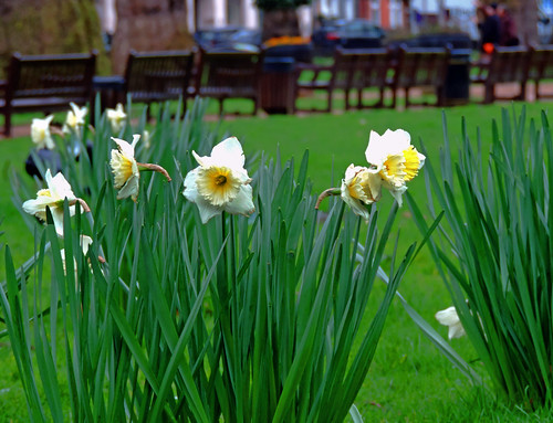 Jonquils at Berkeley Square   by Dun.can