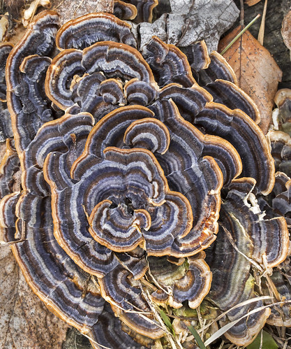 more turkey tail