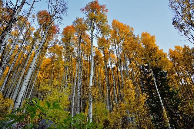 Standing Under Tall Aspen Trees