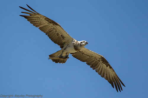 Osprey with fish | by Graham Mahoney