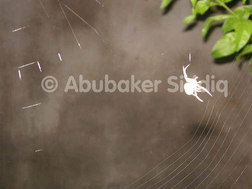 A spider while designing the web