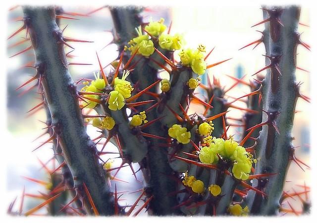 fiori di euphorbia aeruginosa