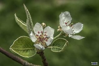 Blossom from Haspengouw | by www.digicrea.be