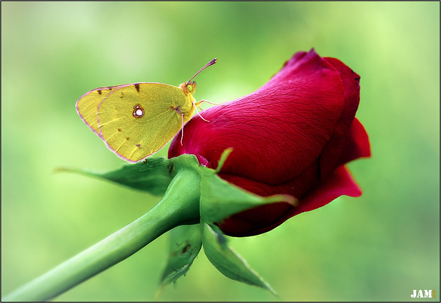 De su sangre tu rosa