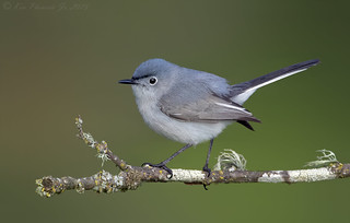 Blue-gray Gnatcatcher | by Ken Phenicie Jr.