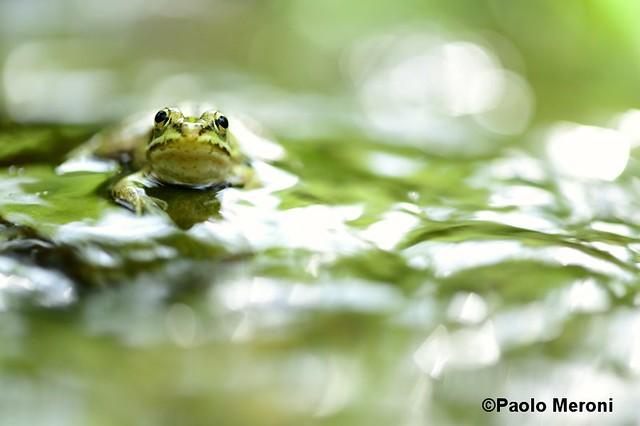 Green frog (Pelophylax synkl esculentus)  Www.paolomeroni.com