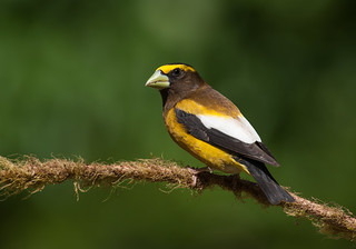 Evening Grosbeak | by Martin Dollenkamp