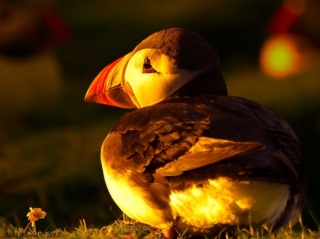 Puffin 'In da Golden Light'