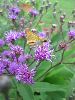 Ironweed w/ skipper | by capemaynativeplants