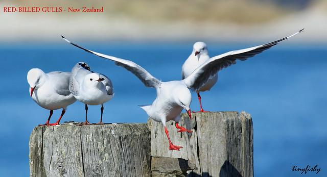 (802b) Red-Billed Gulls - [ Dunedin, New Zealand ]