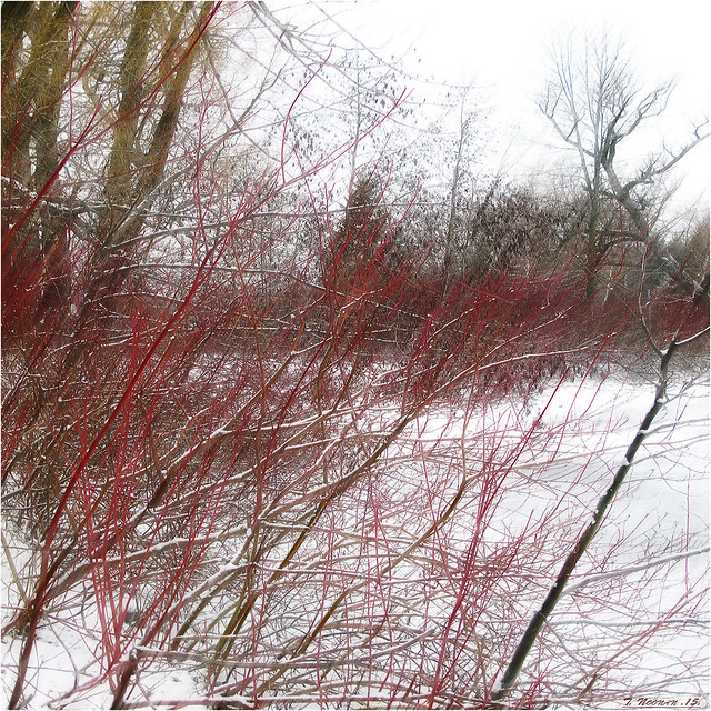 Red Winter Branches