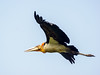 Greater Adjutant (Leptoptilos dubius) by David Cook Wildlife Photography