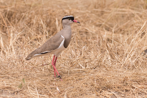 Crowned Lapwing | by Becky Matsubara
