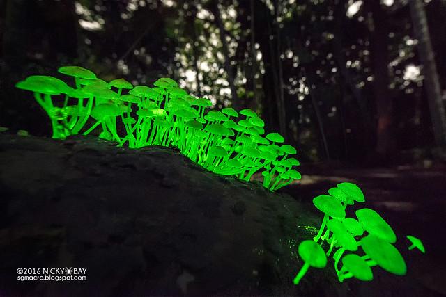 Bioluminescent fungi (Filoboletus cf. manipularis) - DSC_4320