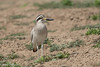 Greater Thick-knee /Strandtjockfot by Hans Olofsson